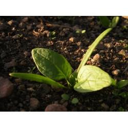 Spinacio baby leaf